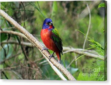 Canvas Print featuring the photograph Painted Bunting Photo by Meg Rousher