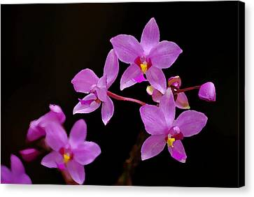 Canvas Print featuring the photograph Painted Ground Orchids by Lorenzo Cassina