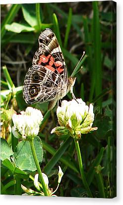 Painted Lady Butterfly 					 Canvas Print by Ella Char
