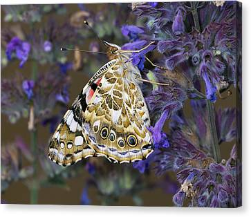 Painted Lady Butterfly Netherlands Canvas Print by Frans Hodzelmans