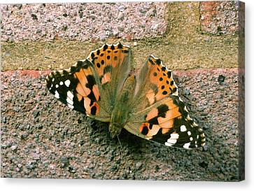 Painted Lady Butterfly Canvas Print by Nigel Downer