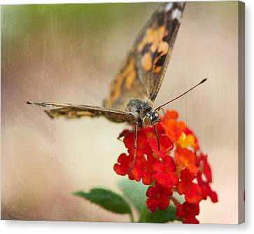 Painted Lady II 8x10 Canvas Print by Pamela Gail Torres