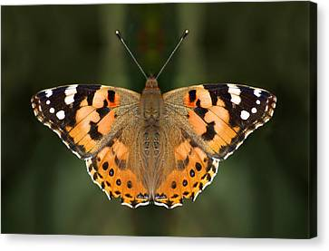Painted Lady Canvas Print by Meir Ezrachi