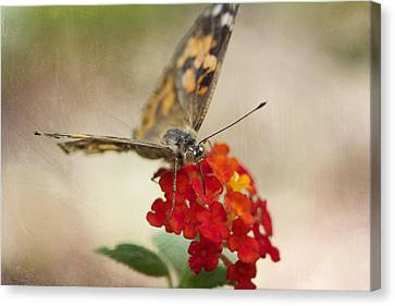 Painted Lady Canvas Print by Pamela Gail Torres