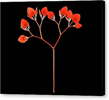 Painted Lead Begonia (begonia Picta) Canvas Print by Gilles Mermet