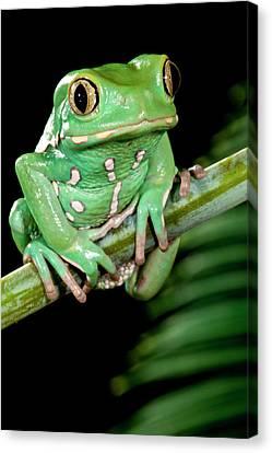 Anuran Canvas Print - Painted Monkey Frog Phyllomedusa by David Northcott