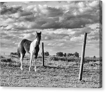 Painted Pony Canvas Print by Tom Druin