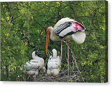 Painted Stork & Young Ones,keoladeo Canvas Print by Jagdeep Rajput