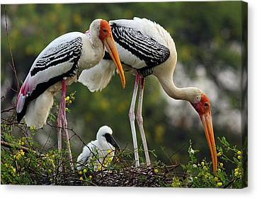 Painted Storks & Young One Canvas Print by Jagdeep Rajput
