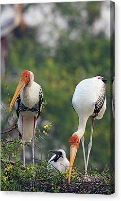 Painted Storks And Youngone,keoladeo Canvas Print