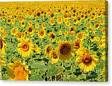 Painted Sunflower Field Canvas Print