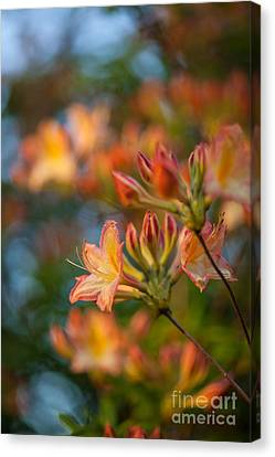 Painterly Rhodies Canvas Print by Mike Reid