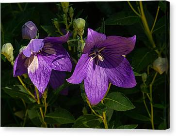 Pair Of Balloon Flowers Canvas Print by Douglas Barnett