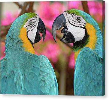 Pair Of Blue And Gold Macaws Engaged Canvas Print