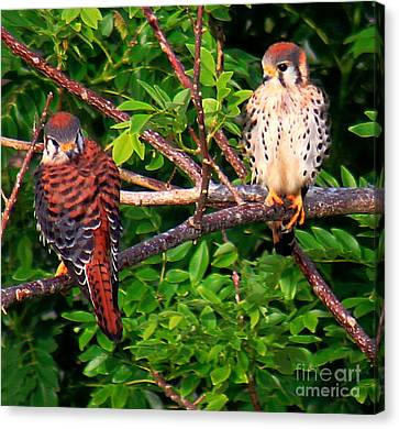 Caribbean Falcons Canvas Print