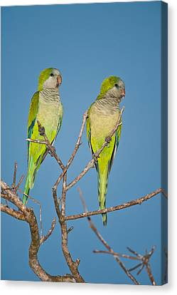 Pair Of Monk Parakeets Myiopsitta Canvas Print by Panoramic Images