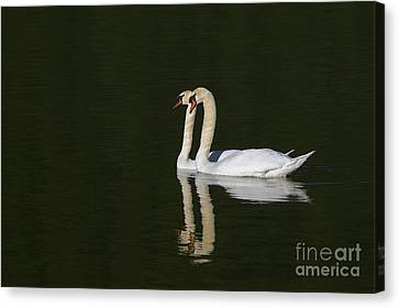 Pair Of Mute Swans Canvas Print