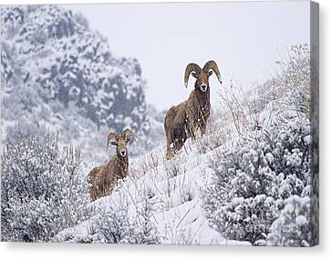 Bighorn Canvas Print - Pair Of Winter Rams by Mike  Dawson