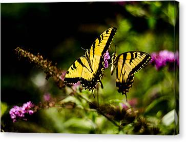 Pair Of Yellow Swallowtails Canvas Print by Bruce Pritchett