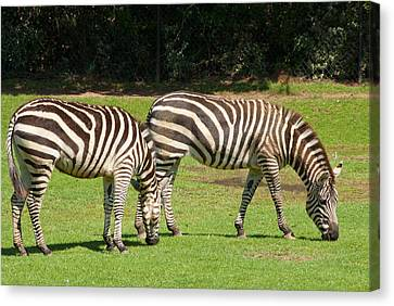 Canvas Print featuring the photograph Pair Of Zebras by Charles Beeler