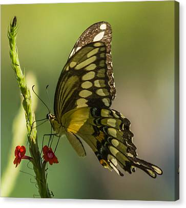 Canvas Print featuring the photograph Palamedes Swallowtail by Jane Luxton