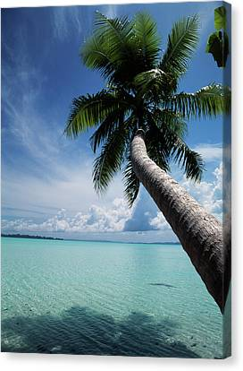 Palau, Micronesia, Palm Tree At Palau Canvas Print by Stuart Westmorland