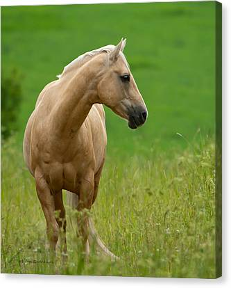 Pale Brown Horse Canvas Print by Torbjorn Swenelius