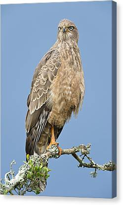 Pale Chanting Goshawk Canvas Print by Science Photo Library