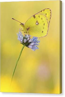 Pale Clouded Yellow Butterfly On Flower Canvas Print by Arik Siegel