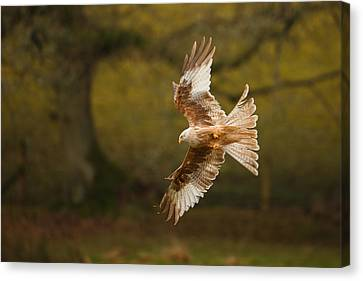 Bif Canvas Print - Pale Morph Red Kite Fly Past by Izzy Standbridge