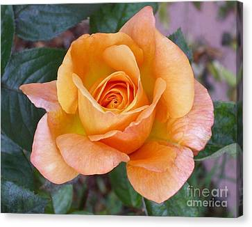 Pale Orange Rose Canvas Print