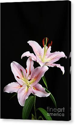 Pale Pink Asiatic Lilies Canvas Print