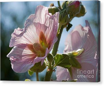 Pale pink hollyhock flowers backlit photograph by valerie garner - Valerie garnering ...