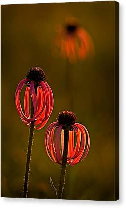 Pale Purple Cone Flowers Canvas Print by Robert Charity
