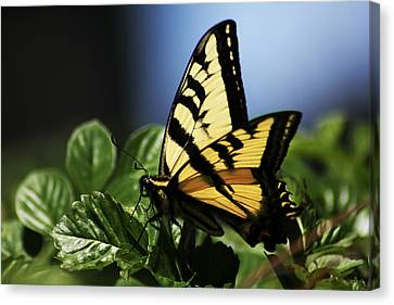 Canvas Print featuring the photograph Pale Swallowtail by Richard Stephen