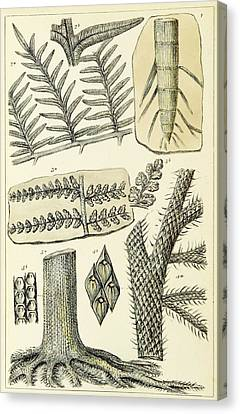 Canvas Print featuring the photograph Paleozoic Flora, Calamites, Illustration by British Library