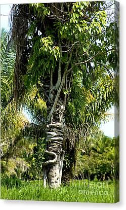 Palm Being Strangled By Strangler Fig Canvas Print