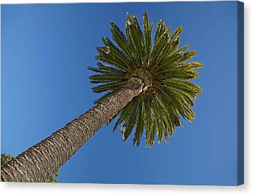 Palm Tree, Seymour Square, Blenheim Canvas Print by David Wall
