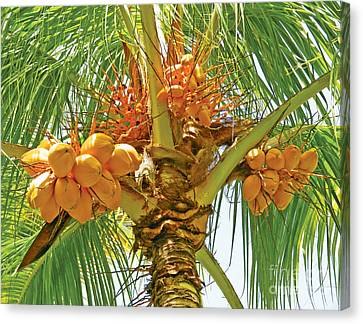Canvas Print featuring the photograph Palm Tree With Coconuts by Val Miller