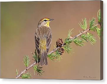 Palm Warbler  Canvas Print by Daniel Behm