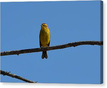 Palm Warbler Canvas Print by James Petersen