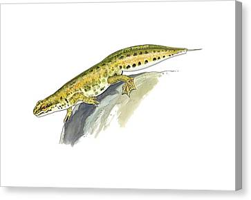 Newts Canvas Print - Palmate Newt, Artwork by Science Photo Library