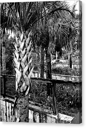 Palms And Walls In Black And White Canvas Print by K Simmons Luna