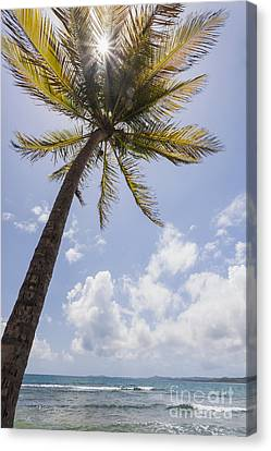 Palms Trees Along Luquillo Beach In Puerto Rico Canvas Print by Bryan Mullennix