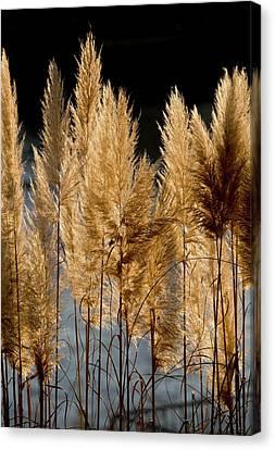 Pampas Grass (cortaderia Selloana) Canvas Print by Bob Gibbons