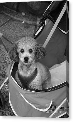 Canvas Print featuring the photograph Pampered Poodle by Cassandra Buckley