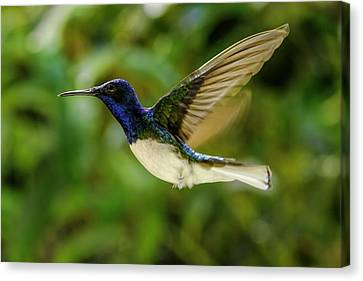 Canvas Print featuring the photograph Panama Hummingbird by Rob Tullis
