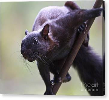 Panamanian Tree Squirrel Canvas Print by Heiko Koehrer-Wagner