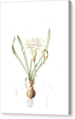 Pancratium Maritimum, Pancrace Maritime, Sea Daffodil Canvas Print by Artokoloro