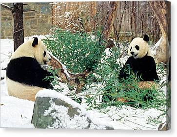 Canvas Print featuring the photograph Panda Bears In Snow by Chris Scroggins